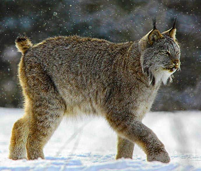 lynx environment and natural resources
