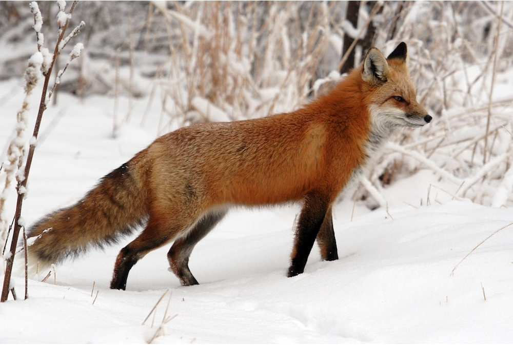 Red fox Environment and Natural