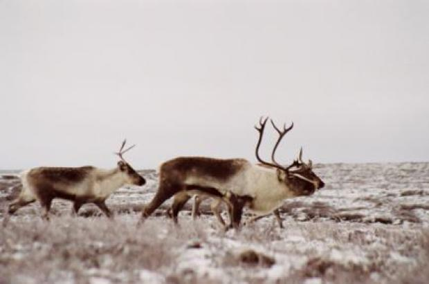 15.4 Trends in barren-ground caribou population size in ...