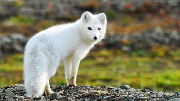 Arctic fox with winter coat