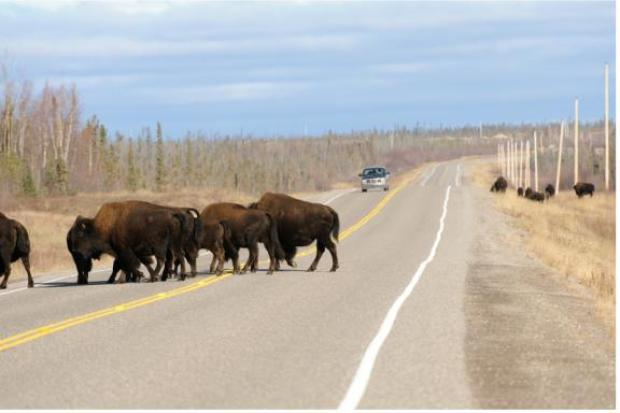 Bison and road traffic in the NWT