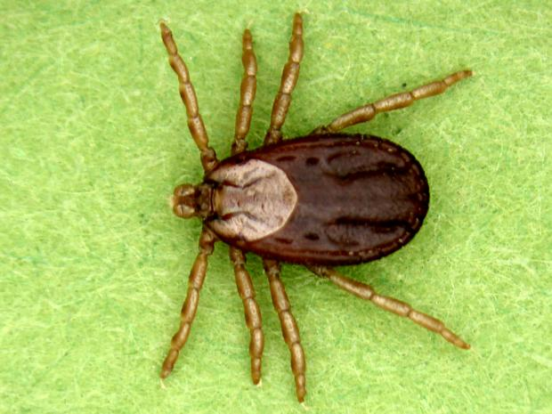 15 7 Trends In Winter Tick In Moose Environment And