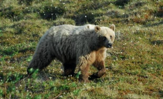 Barren ground grizzly bear
