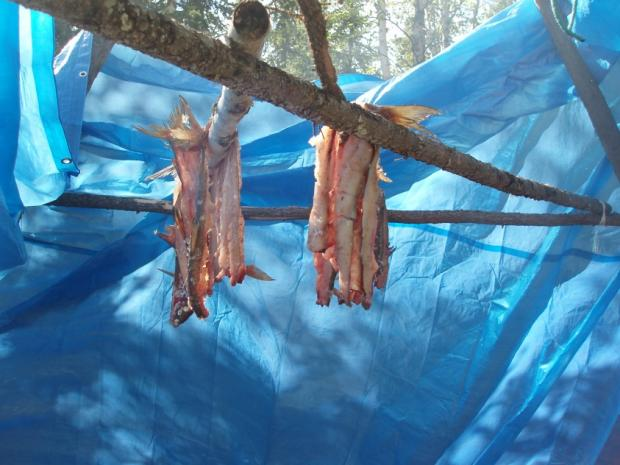 Smoking fish in camp, NWT